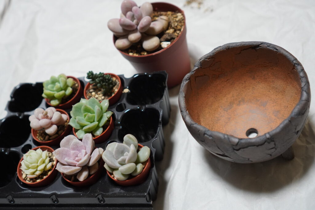 ガラパゴス-多肉植物